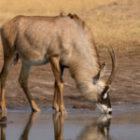 Bild des Tages: Fotoreise Simbabwe, Pferdeantilope
