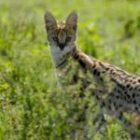 Bild des Tages: Fotoreise Tansania, Servalfoto