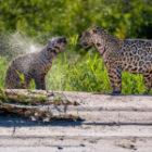 Bild des Tages: Fotoreise Brasilien, Jaguarpaar