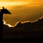 Bild des Tages: Fotoreise Kenia, Die Giraffe