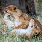 Bild des Tages: Fotoreisen Afrika, Die Löwenbabys