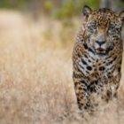 Livebericht: Fotoreise Brasilien, Jaguar-Foto