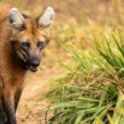 Livebericht: Fotoreise Brasilien, Mähnenwolf