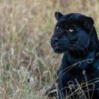 Livebericht: Fotoreise Brasilien, Schw.  Panther