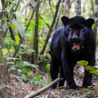 Livebericht: Fotoreise Brasilien, Panther-Fotos