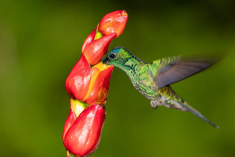 Fotosafari-Kolibri in Brasilien