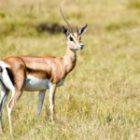 Livebericht: Fotoreise Kenia, Gazellengeburt