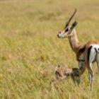 Livebericht: Fotoreise Kenia, Gazellenbaby