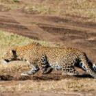 Livebericht: Fotoreise Kenia, Die Jagd