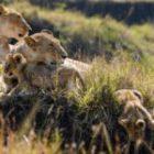 Livebericht: Fotoreise Kenia, Die Löwenfamilie