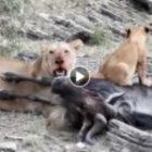 Livebericht: Fotoreise Kenia, Die Löwen