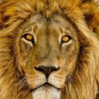 Bild des Tages: Fotoreise Simbabwe, Der Löwe