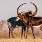 Bild des Tages: Fotoreise Simbabwe, Rappenantilopen