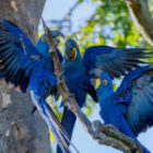 Bild des Tages: Fotoreise Brasilien, Hyazinth-Aras