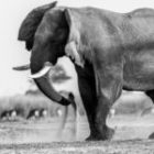 Livebericht: Fotoreise Botswana, Elefanten