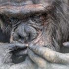Bild des Tages: Fotoreise Kenia, Schimpansen