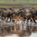 Bild des Tages: Fotoreise Tansania, Migration