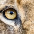 Löwin auf der Fotoreise durch Südafrika
