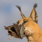 Karakal-Kill auf unserer Fotoreise durch Südafrika