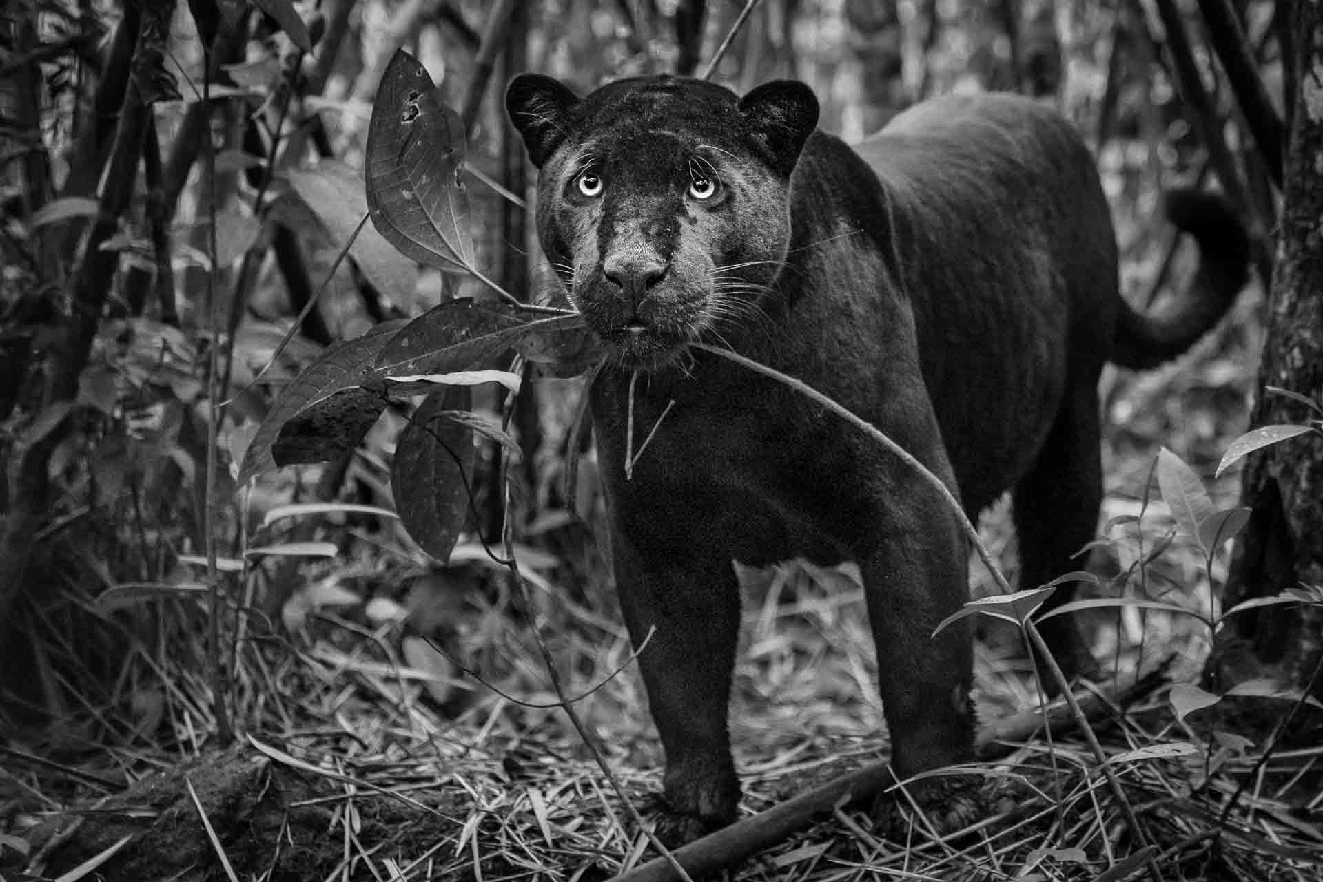 Black Panther - Brasil - Amazon - Fotoreise - Fotosafari - Fotografie