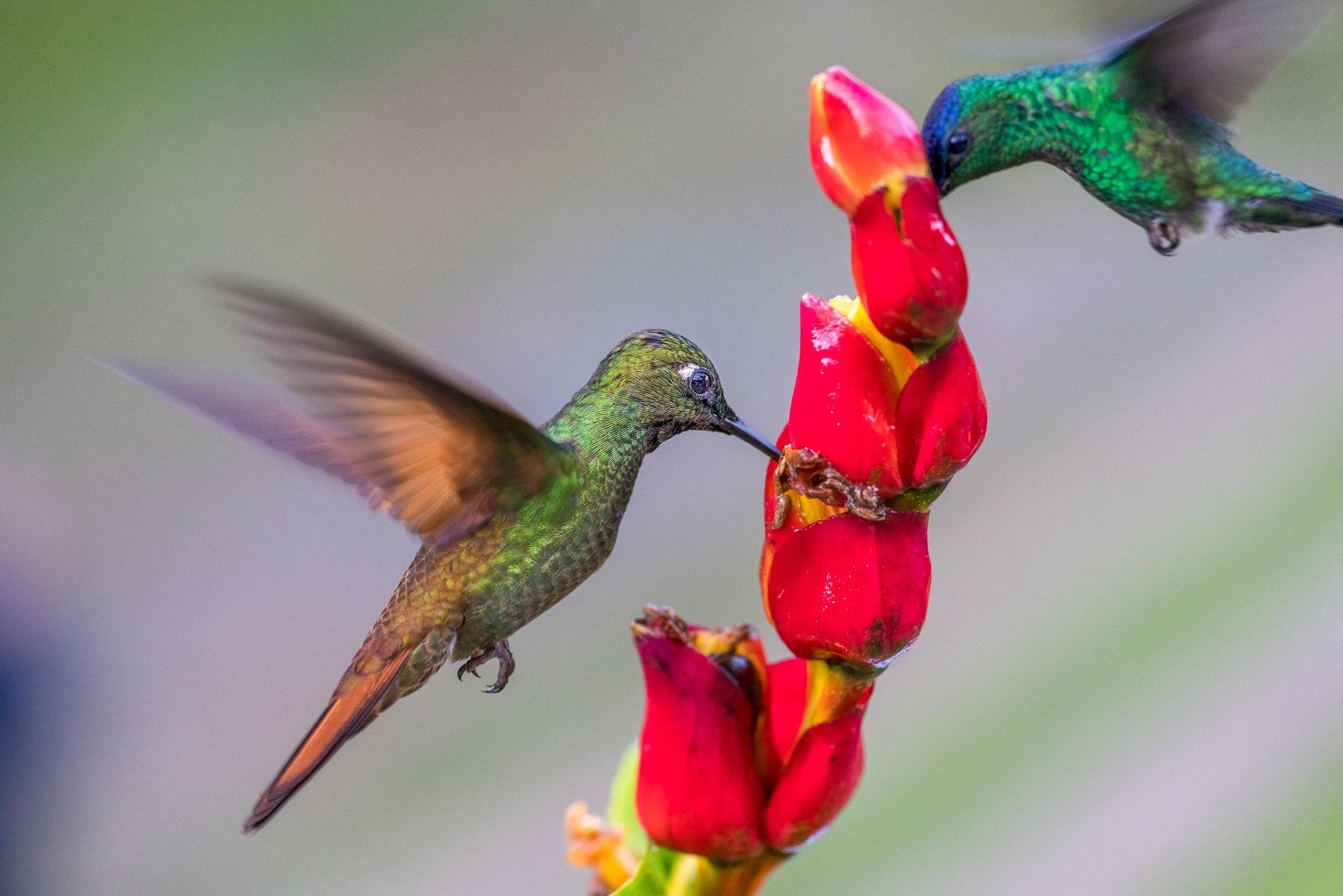 Kolibris trinken auf einer Fotoreise durch Brasilien - Fotosafari