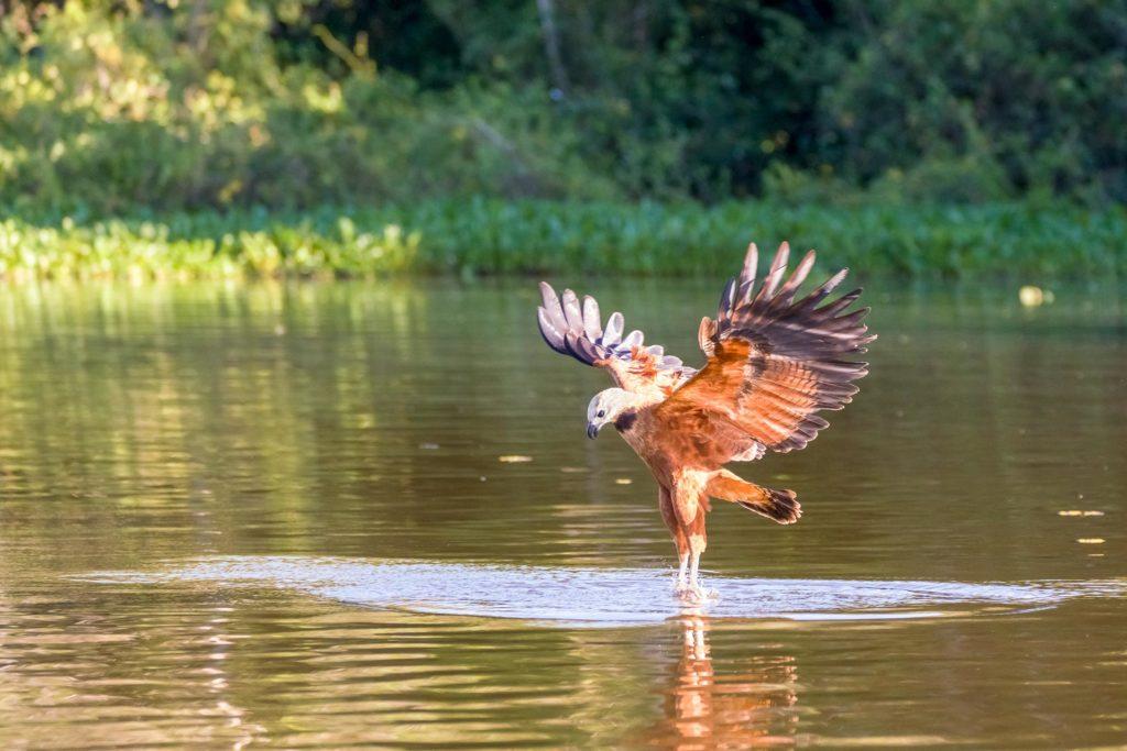Fischbussard jagt Piranhas im Pantanal auf einer Fotoreise.