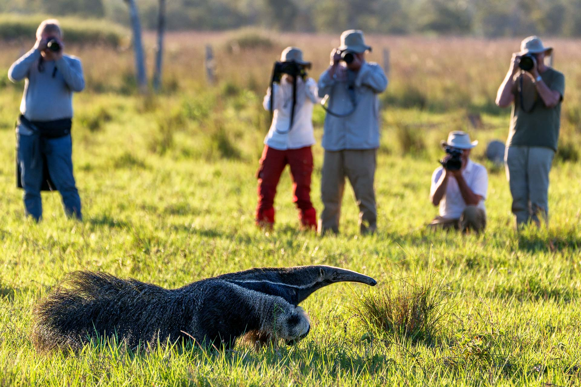 Ameisenbär - Fotoreise - Brasilien - Pantanal