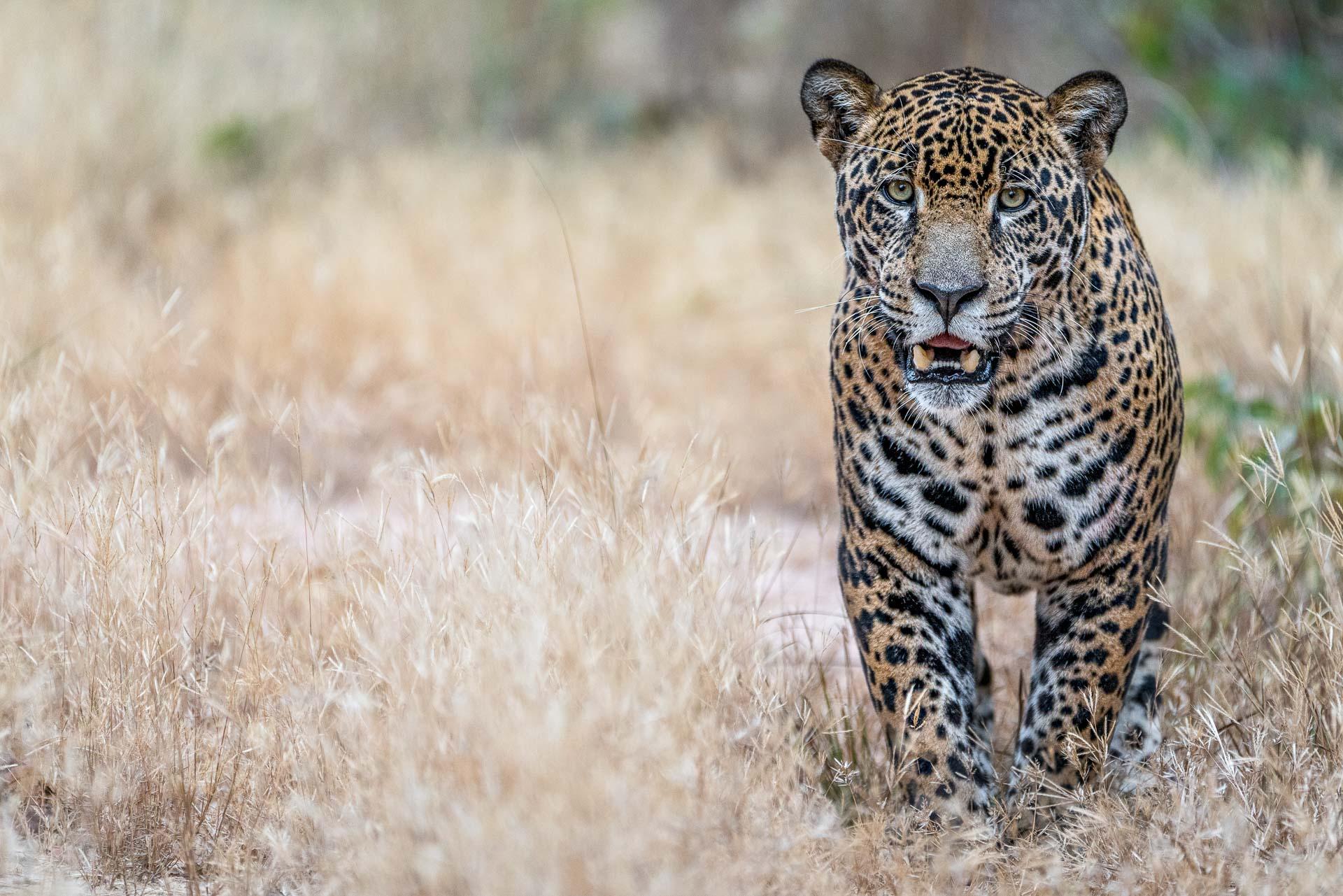 Jaguar - Pantanal -Fotoreise