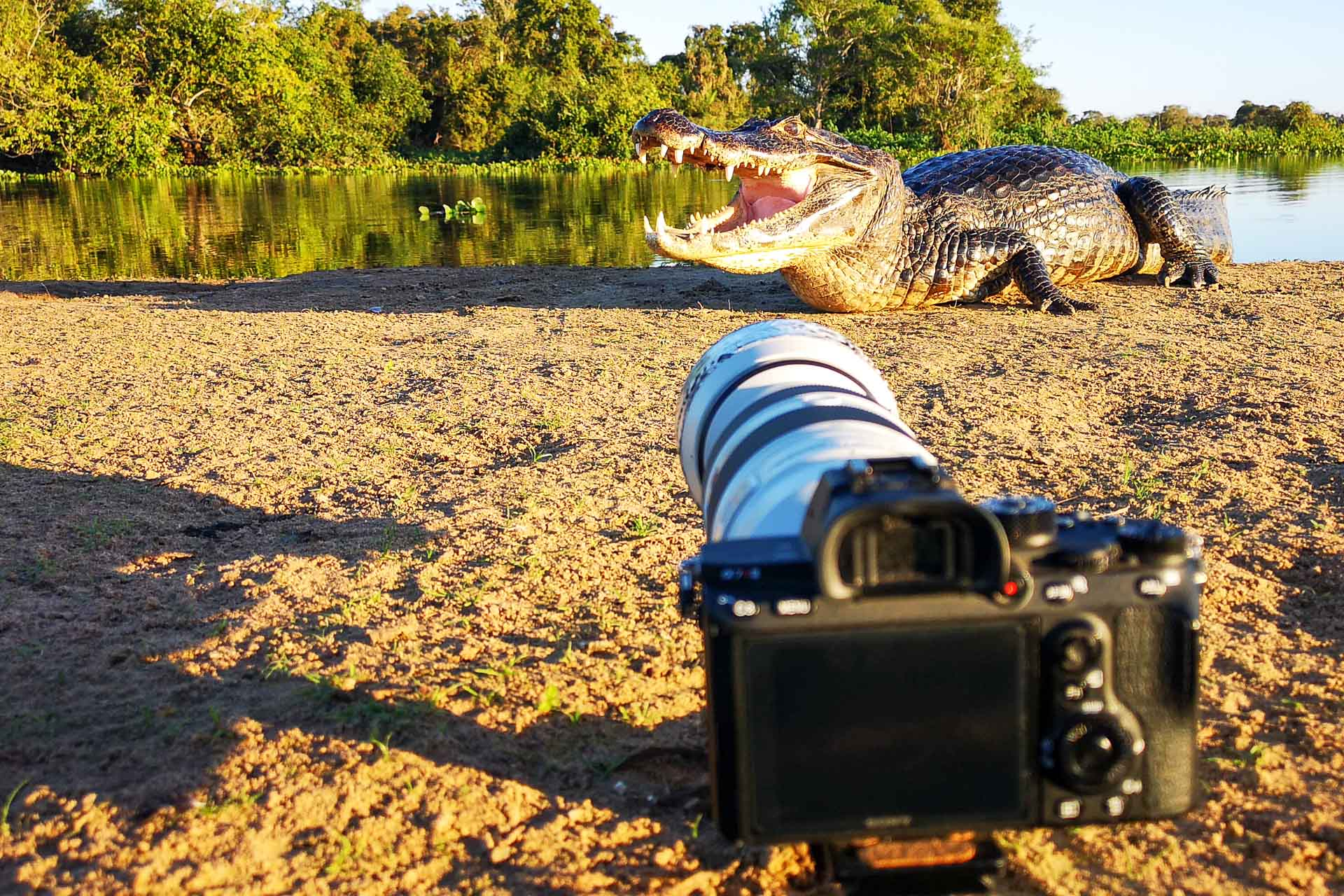 Kamera vor einem Kaiman auf einer Fotoreise im Pantanal in Brasilien - Fotosafari