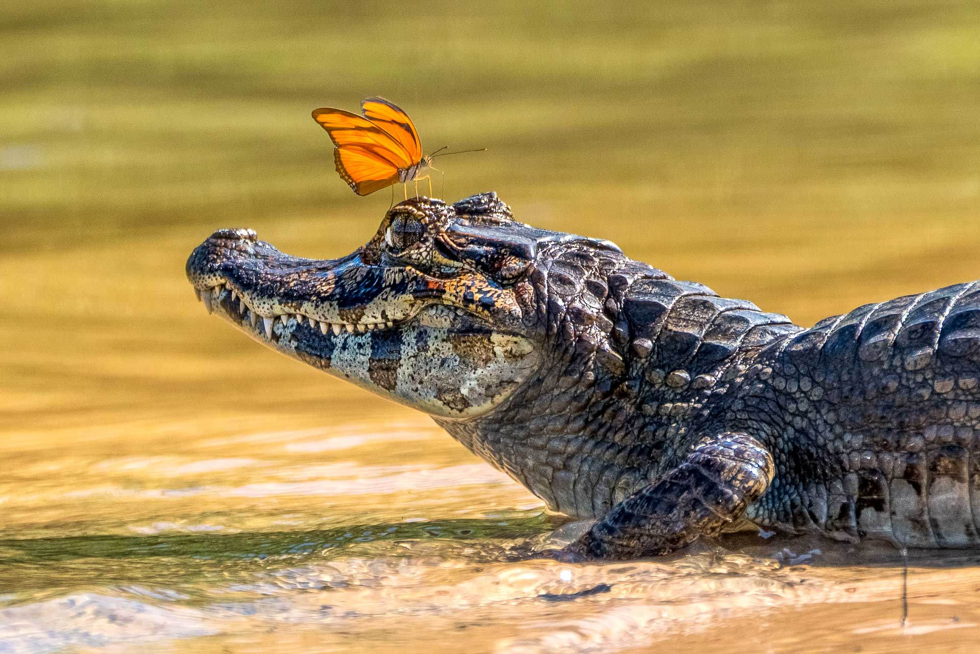 Kaiman mit einem Schmetterling fotografiert auf einer Fotoreise durch Brasiliens Pantanal