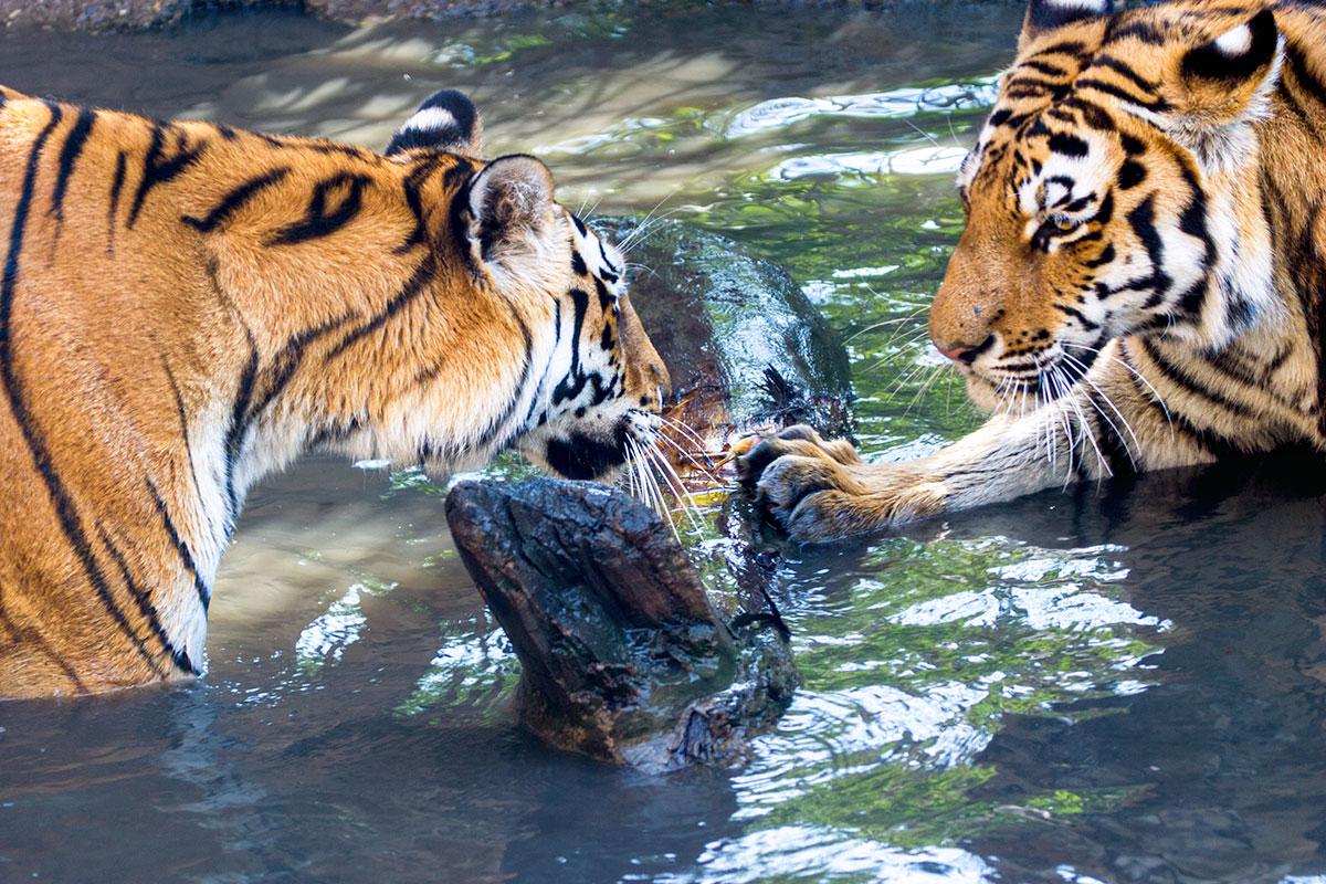 fotoreise_indien_tiger_fotosafari_0076