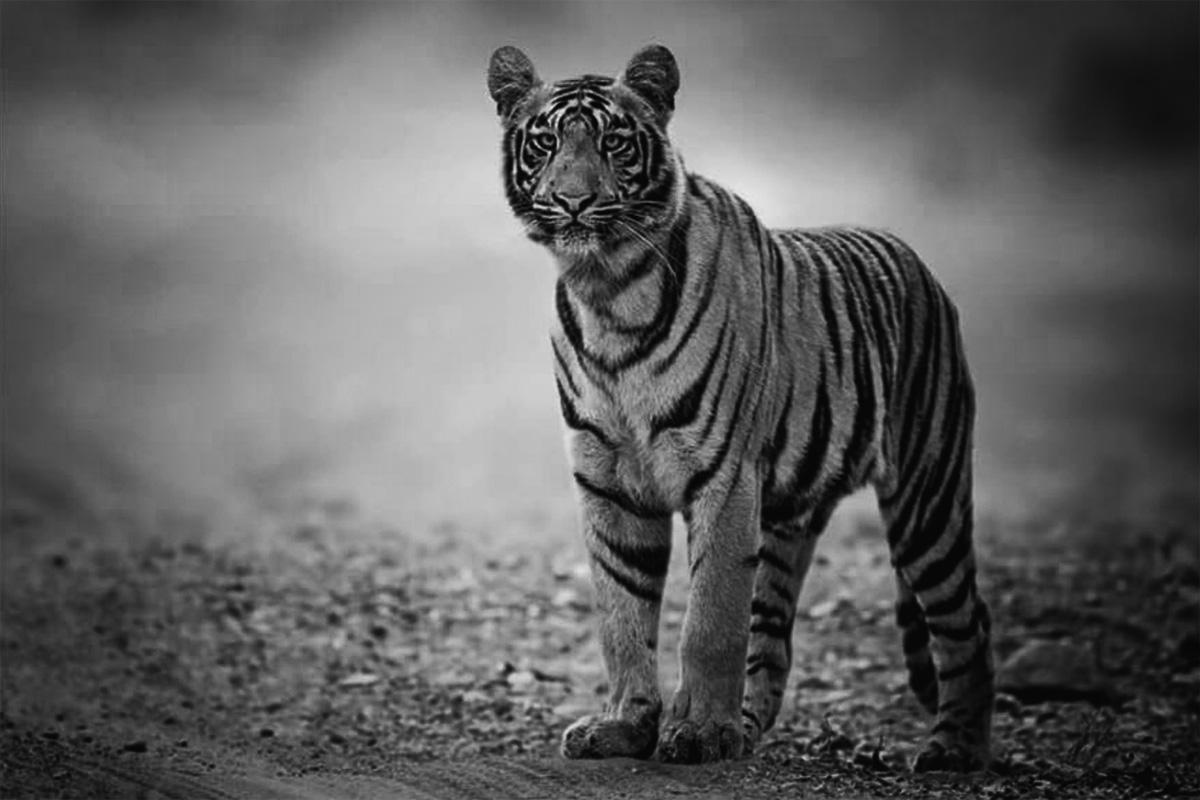 fotoreise_indien_tiger_fotosafari_bamboo_036