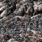 Die spektakuläre Wanderung der großen Herden in Kenia