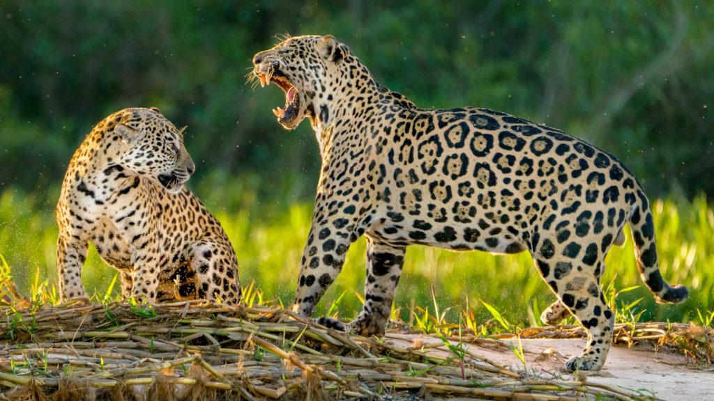 Jaguarfotografie auf Brasilien-Fotoreise