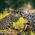 Jaguar-Sichtungen auf unseren Fotoreisen durch Brasilien