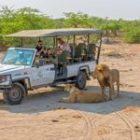 Löwen auf Fotoreisen aus nächster Nähe bewundern
