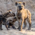 Die niedlichen Hyänenbabys auf Fotoreisen