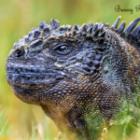 Die Meerechsen – Die Drachen der Galapagosinseln