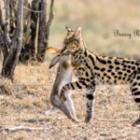 Serval-Kill auf einer Fotoreise in Kenia