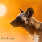 Welche Fotoreise für gute Sichtungen von Wildhunden?