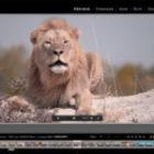Der verschlafene Löwe auf einer Fotoreise in Simbabwe