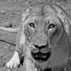 Von Räubern, Löwen und Leoparden bedroht