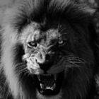 Löwenbesuch in der Nacht