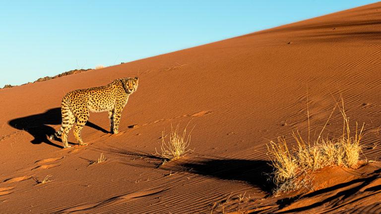 Namibia-duene-Gepard_Fotoreise-3149