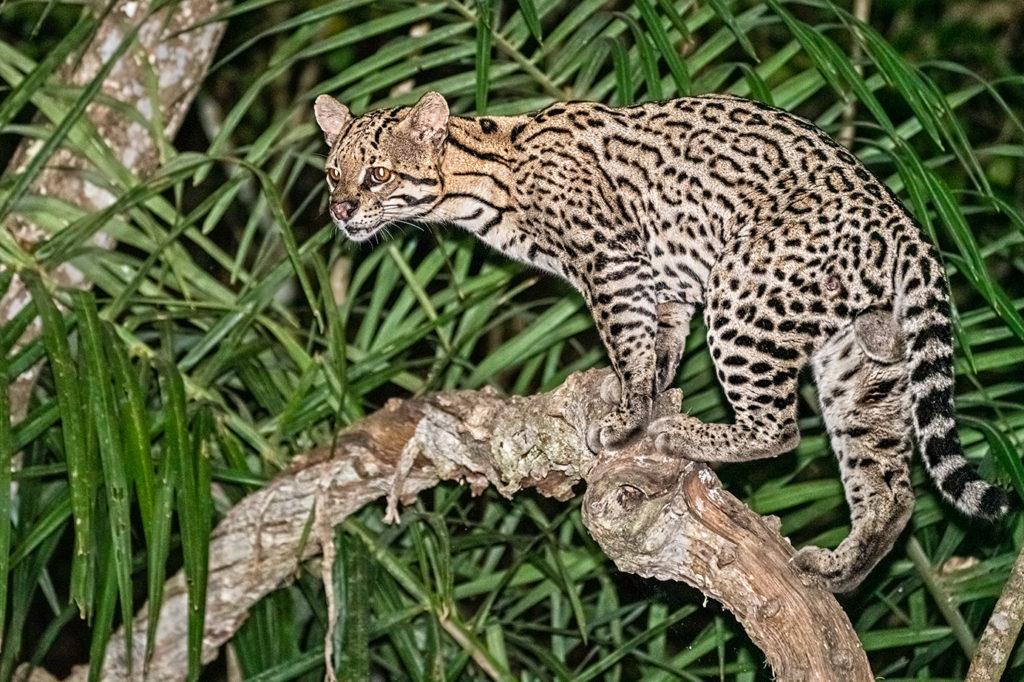 Ozelot auf einem Baum in der Nacht - fotografiert auf einer Fotoreise mit Benny Rebel Fotosafaris