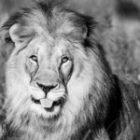 Löwen, Leoparden und Geparde auf unserer Fotoreise durch Namibia