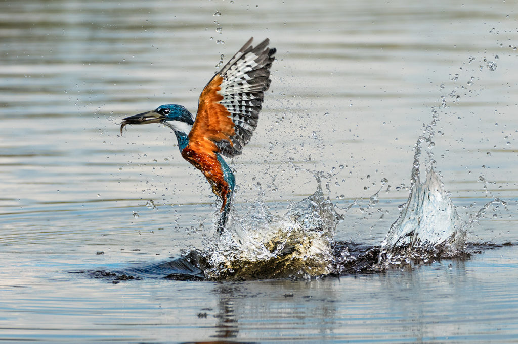 Eisvogel fotografiert auf einer Fotoreise durch Brasiliens Pantanal von Benny Rebel