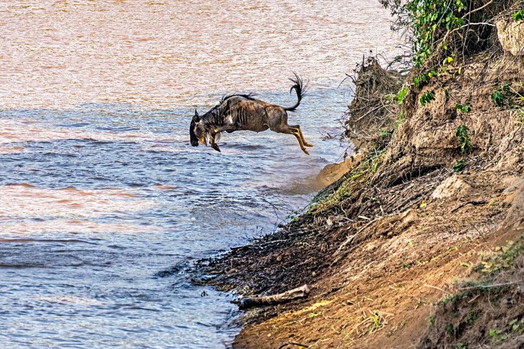 Gnu springt in den Marafluss - fotografiert auf einer Fotoreise durch Kenia mit Benny Rebel Fotosafaris GmbH