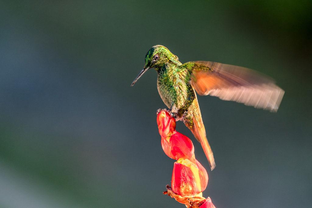 Kolibri fotografiert auf einer Fotoreise mit Benny Rebel Fotosafaris GmbH in Brasiliens Urwald