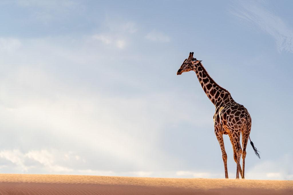 Das Bild zeigt eine Giraffe, die in der Kalahariwüste auf einer Fotoreise von Benny Rebel fotografiert wurde